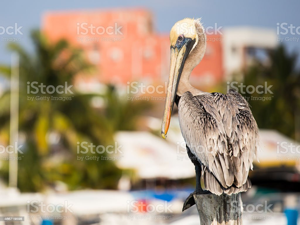 Brown Pelican on mexican Mujeres island stock photo