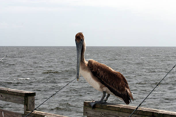 Brown Pelican am Pier – Foto