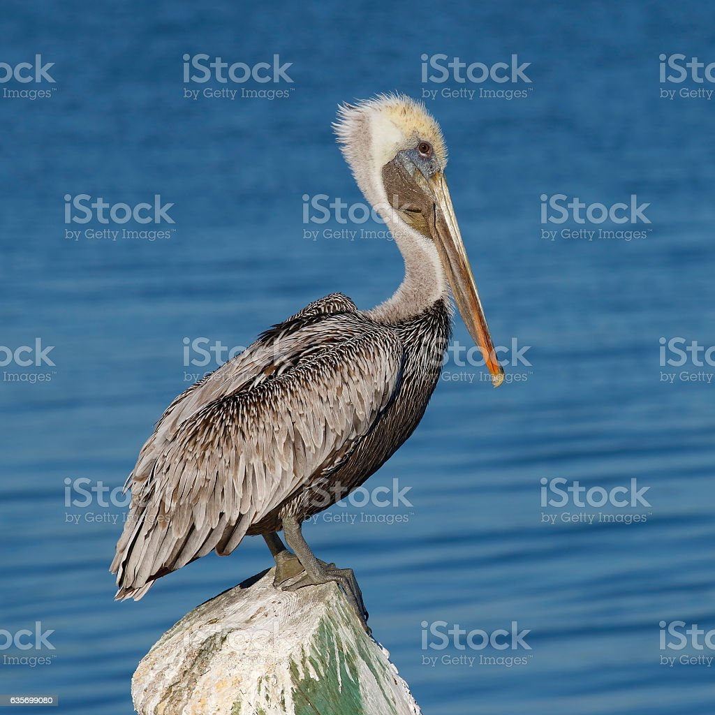 Brown Pelican perched on a dock piling - Florida royalty-free stock photo