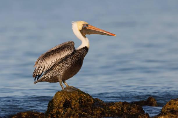 brown pelican perched on a rock - florida - пеликан стоковые фото и изображения