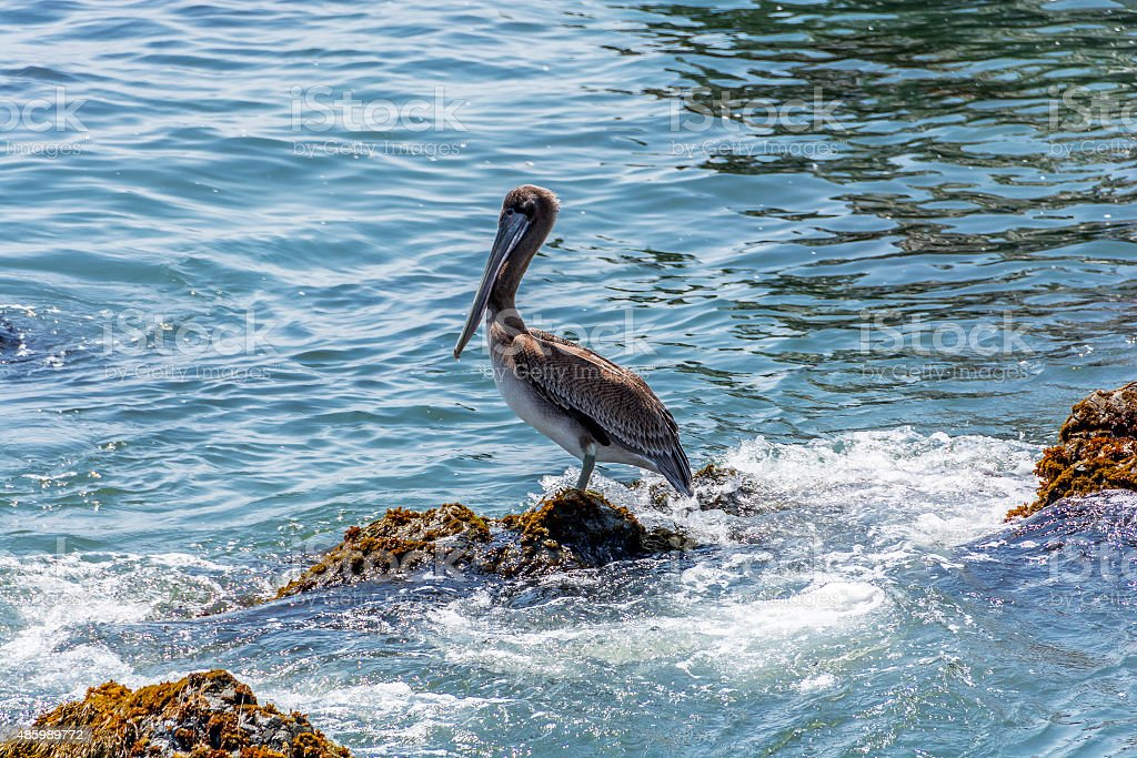 Brown Pelican (Pelecanus occidentalis) perched on a rock stock photo