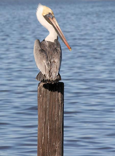 американский бурый пеликан - пеликан стоковые фото и изображения