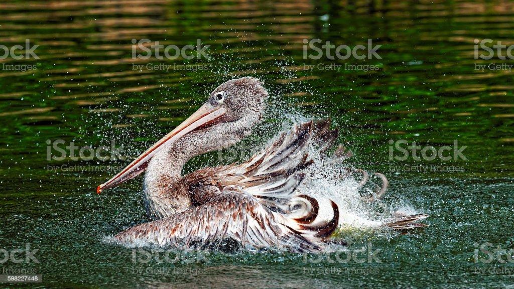 Pelicano Marrom foto royalty-free