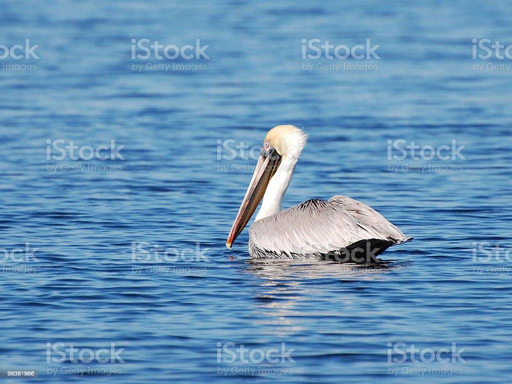 Brown Pelican (Pelecanus Occidentalis) royalty-free stock photo