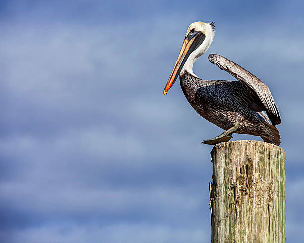 Brown Pelican Ready for Launch stock photo