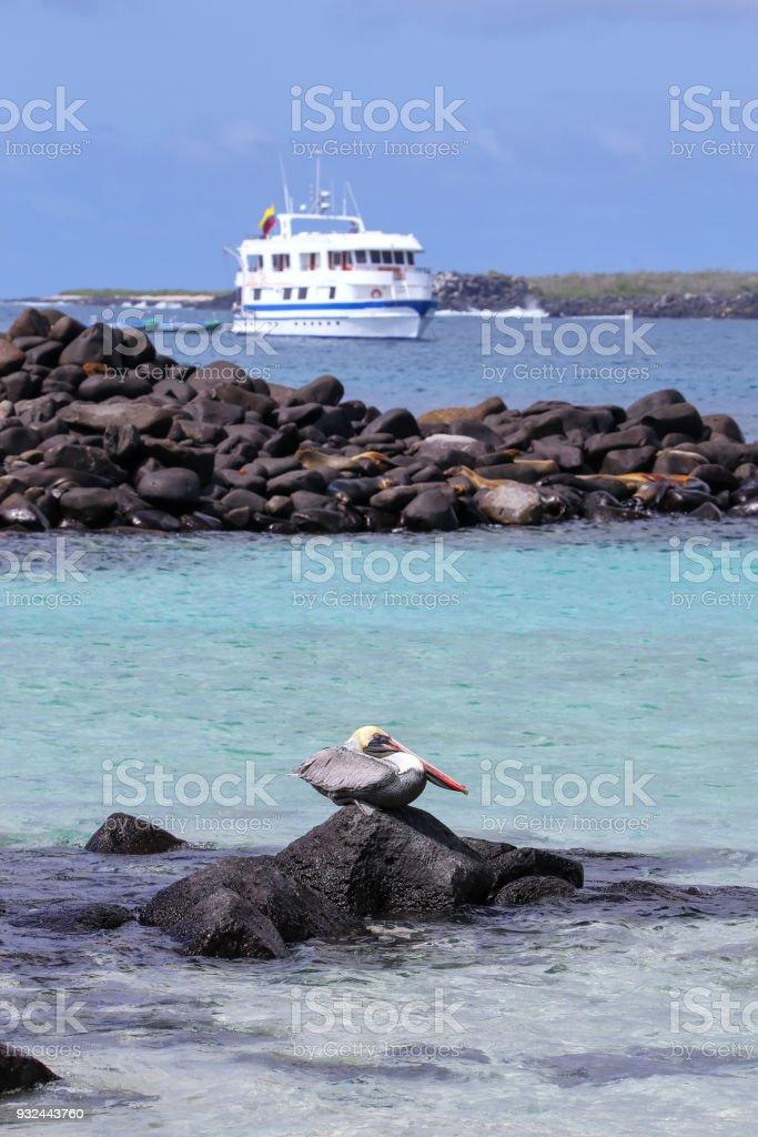 Brown pelican sitting on a rock, Espanola Island stock photo