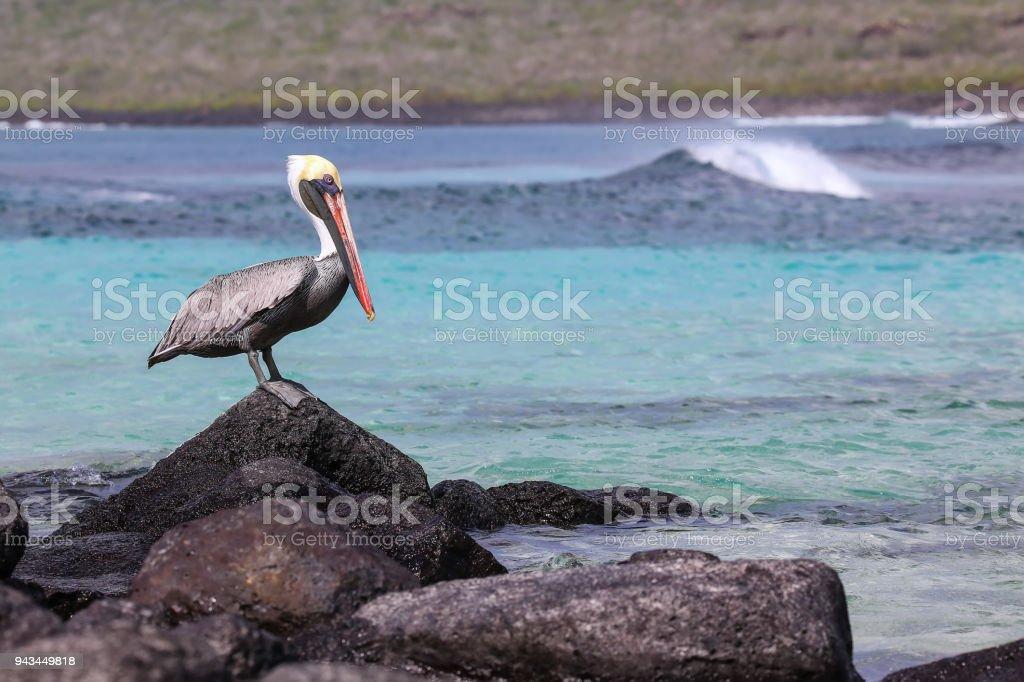 Brown pelican sitting on a rock on Espanola Island stock photo