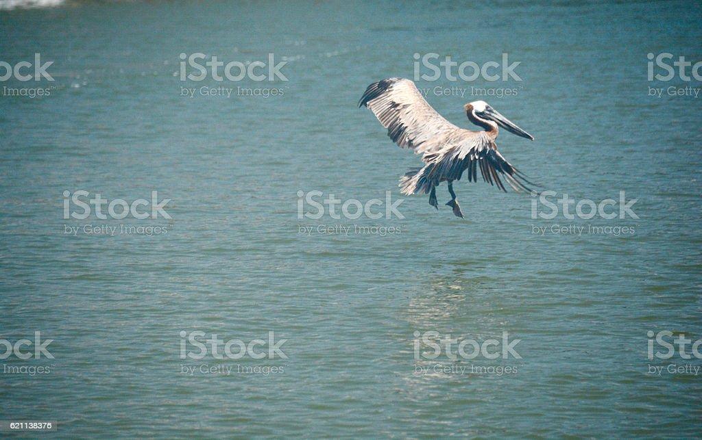 Brown Pelican Slowing for Water Landing stock photo