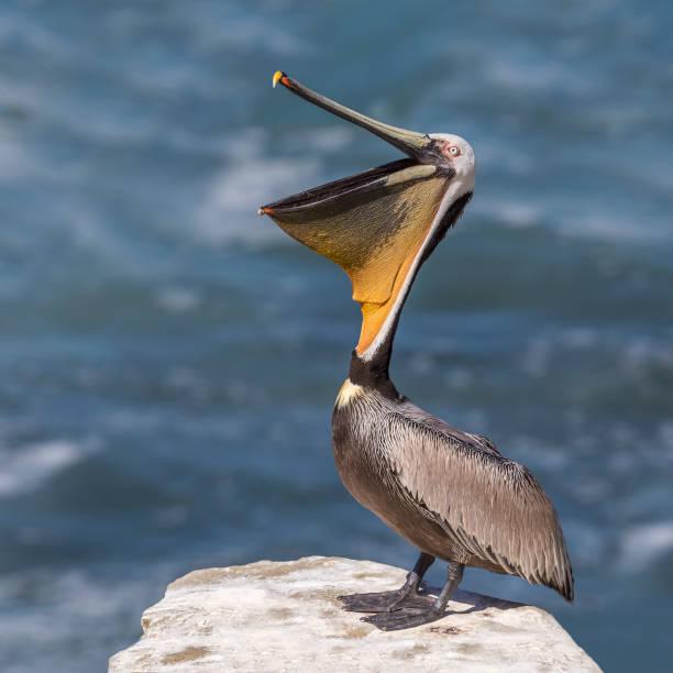 brown pelican stretching its pouch open - san diego, california - пеликан стоковые фото и изображения