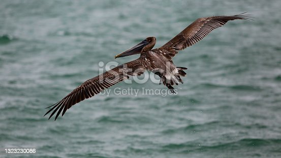 istock Brown Pelican Takes Flight 1323230086