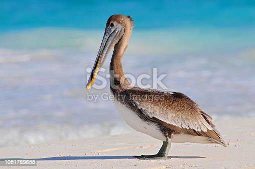 Brown pelican (Pelecanus occidentalis) Tulum beach, Mexico.