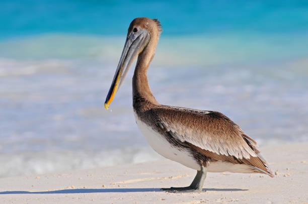 brown pelican (pelecanus occidentalis) tulum beach, mexico. - пеликан стоковые фото и изображения