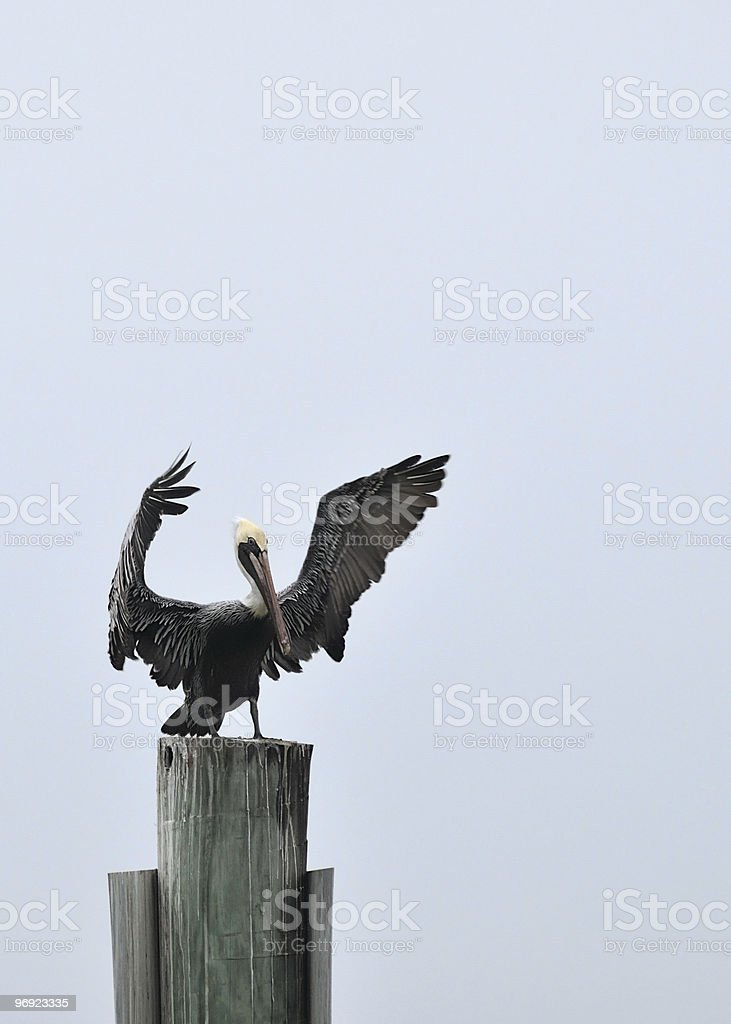 Brown Pelican Wing Waggle Pelecanus occidentalis royalty-free stock photo