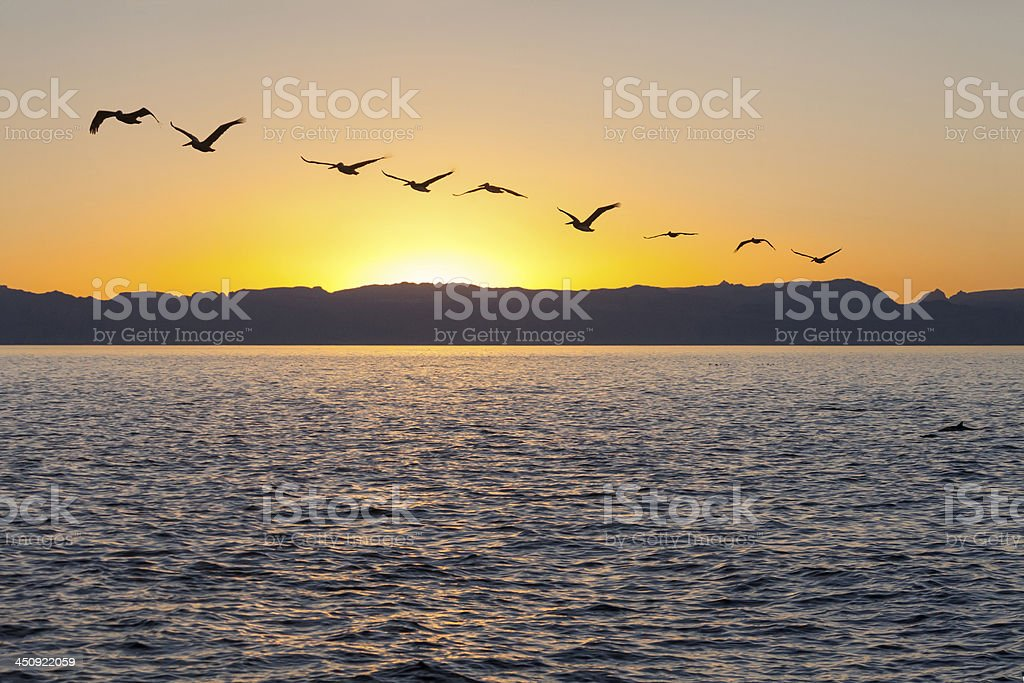 Brown Pelicans at Sunset; Sea of Cortez royalty-free stock photo