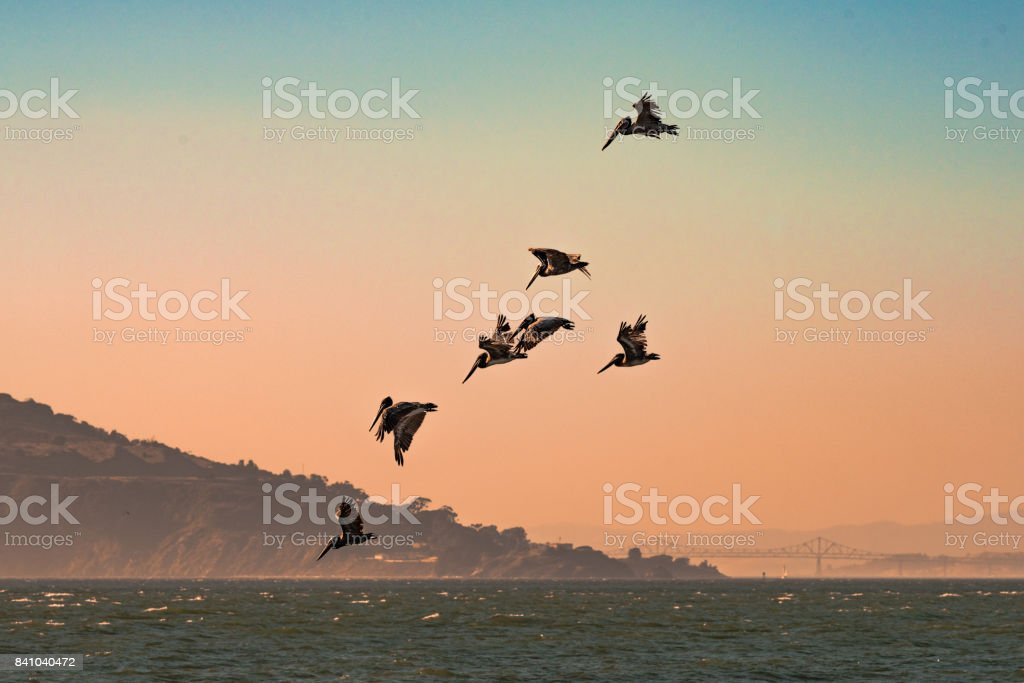 Brown Pelicans Flying in the San Francisco Bay stock photo