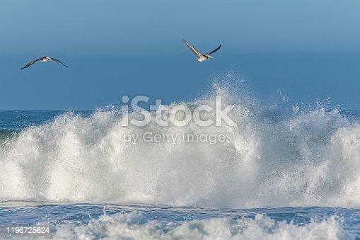istock Brown pelicans flying 1196725624