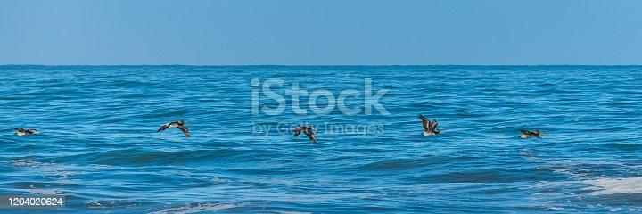 istock Brown pelicans flying 1204020624