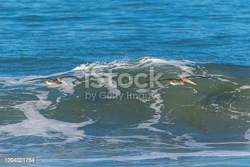 istock Brown pelicans flying 1204021754