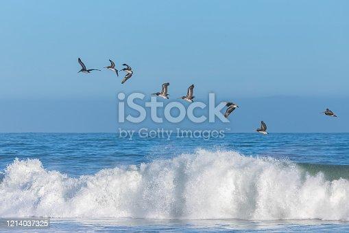 istock Brown pelicans flying 1214037325