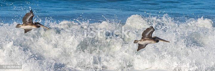 istock Brown pelicans flying 1216255392