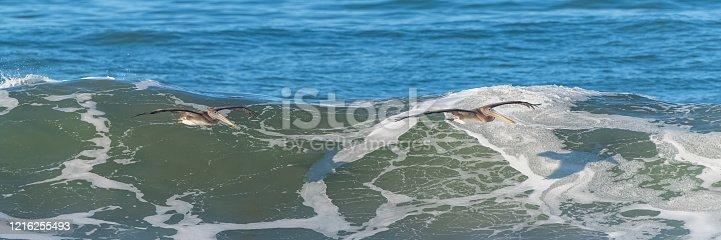 istock Brown pelicans flying 1216255493