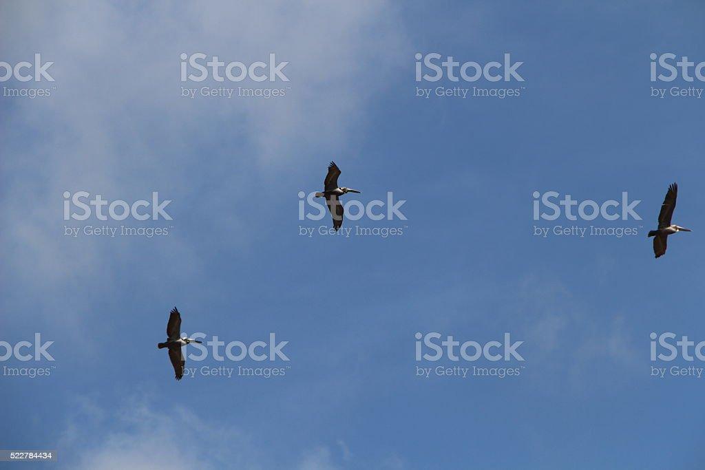 Brown Pelicans in flight stock photo