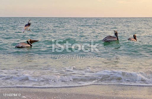 Pelicans feast off of small fish on a florida beach. Because of the coronavirus pandemic, there are very few people on the beach throughout the day and at sunset, times when they are normally full.