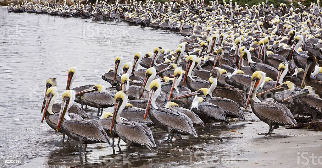 Brown Pelicans stock photo