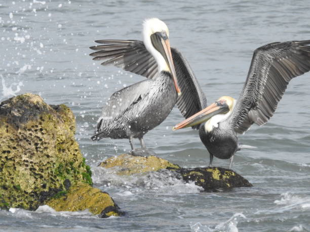 Brown pelicans playing in ocean splash zone stock photo