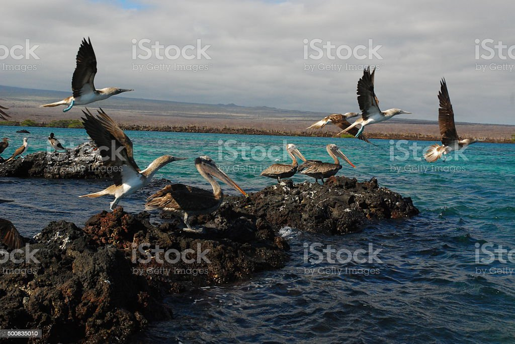Brown Pelicans resting with Blue Footed Boobies Flying Overhead stock photo