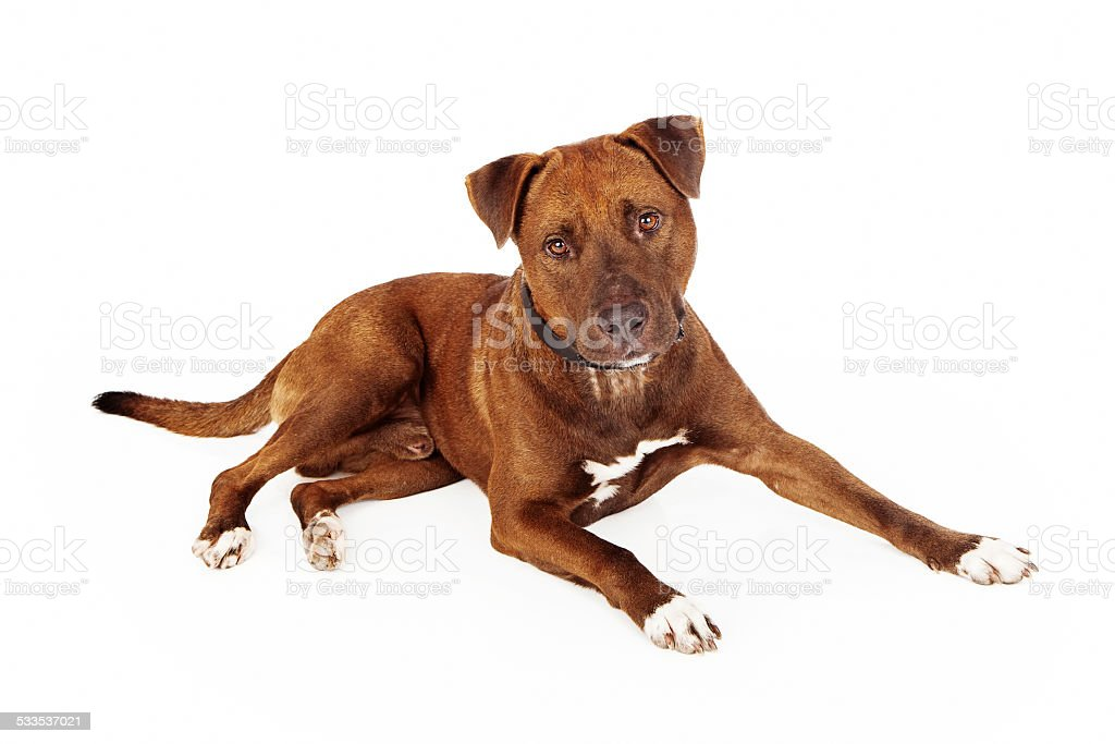 Brown Pit Bull Cross Dog stock photo