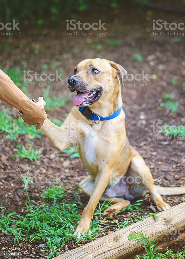 Brown Pit Bull Mix Shaking Hands stock photo