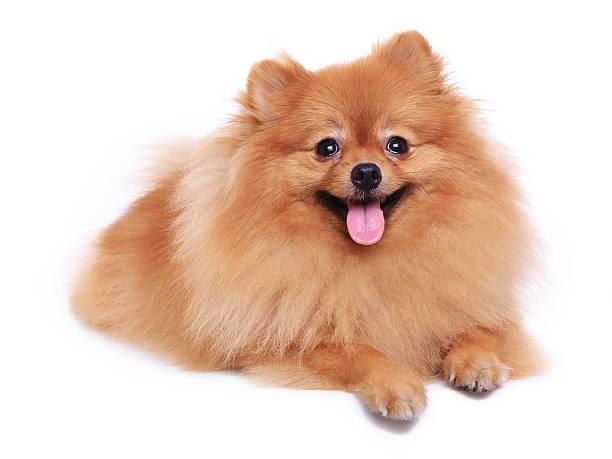 brown kleinspitz hund isoliert - zwergspitz stock-fotos und bilder