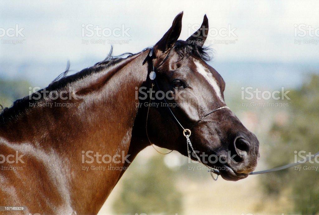 Brown Pony Head portrait stock photo