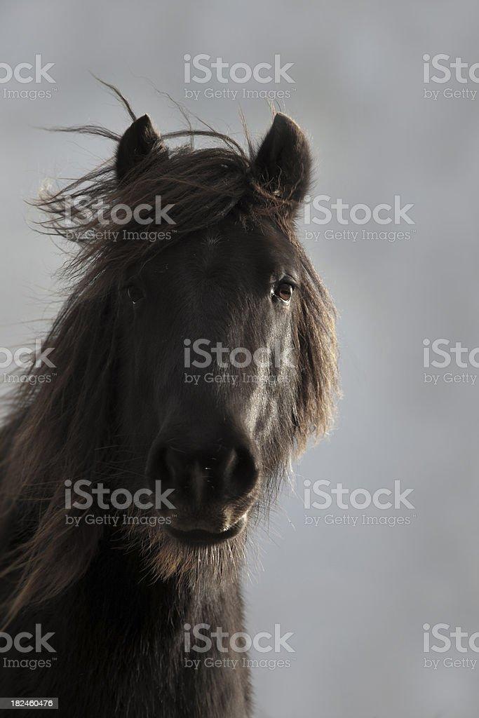 brown pony royalty-free stock photo