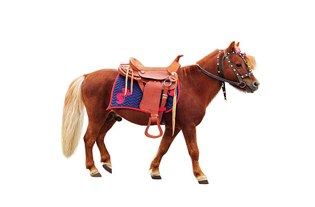 Brown pony Brown pony with saddle standing and isolated on white background pony stock pictures, royalty-free photos & images