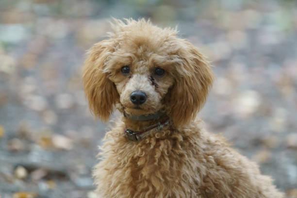 Brown poodle puppy picture id1174774564?b=1&k=6&m=1174774564&s=612x612&w=0&h=akpdzd9tykxesl0uie4l82vyyjjqcepallkbiezdkbk=