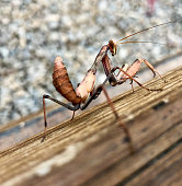 Brown praying mantis perched on a wooden log and staring at us defiantly.