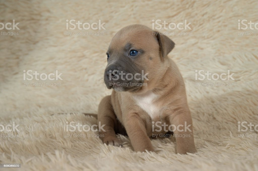 brown puppy American stafford posing in studio royalty-free stock photo