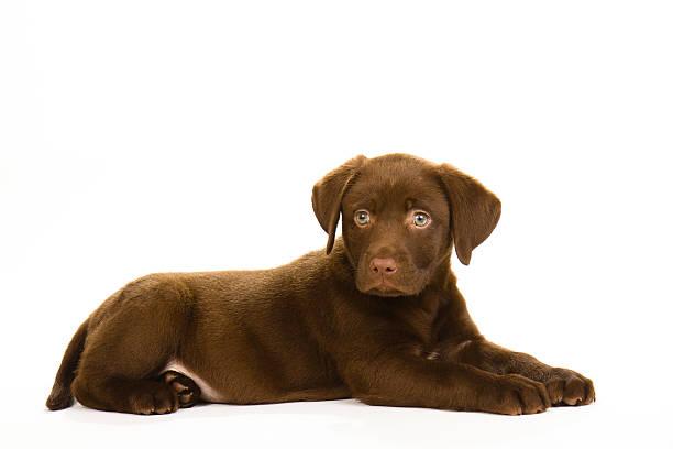 Brown puppy labrador lying down picture id529589995?b=1&k=6&m=529589995&s=612x612&w=0&h=833azo1eop6ghpqyr3drb9yvysiub8rrly9 eyff3z8=