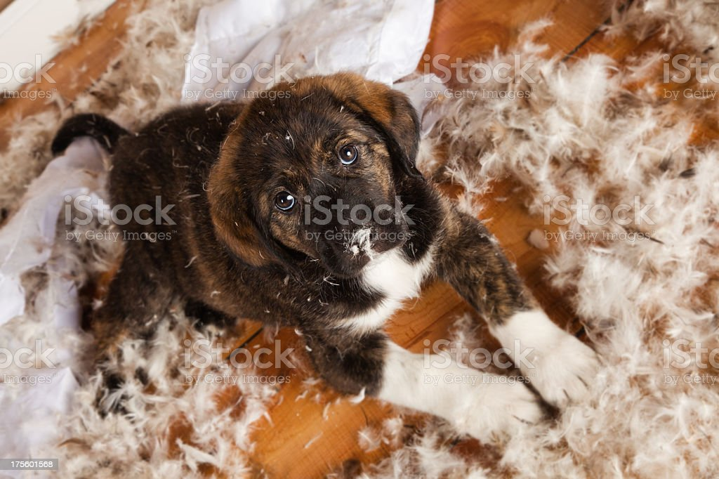 Brown puppy on a wooden floor surrounded by feathers stock photo