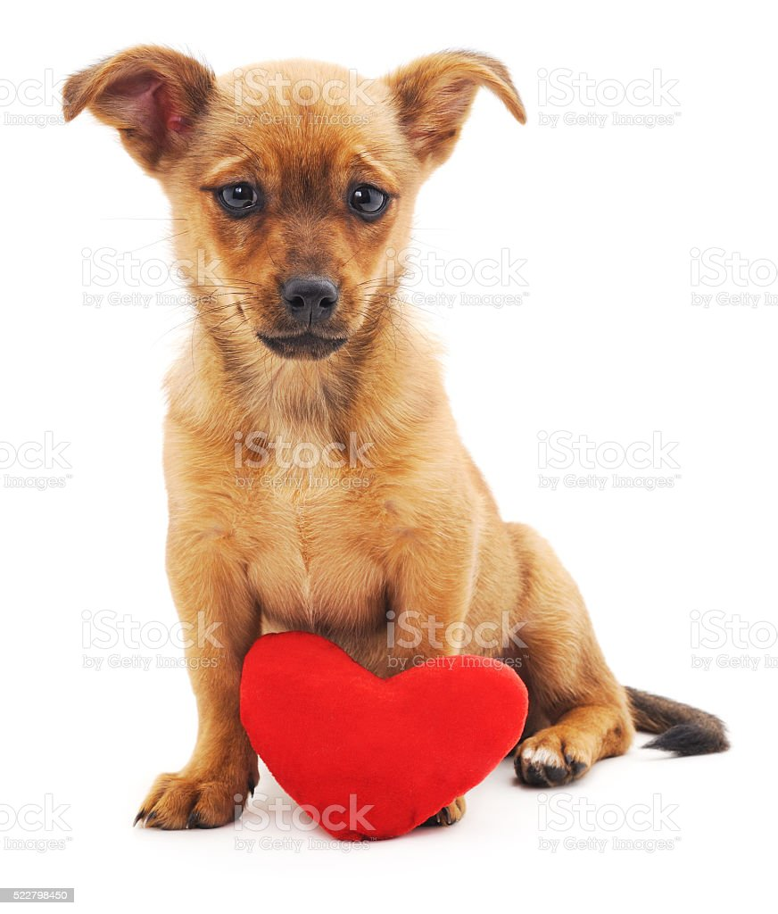 Brown puppy with heart. stock photo