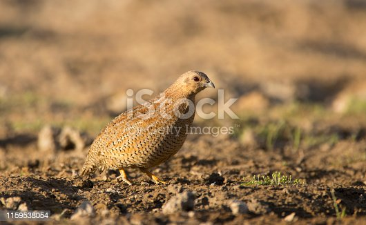 Brown Quail - Coturnix ypsilophora, rarely seen out in the open, Western Queensland, Australia.