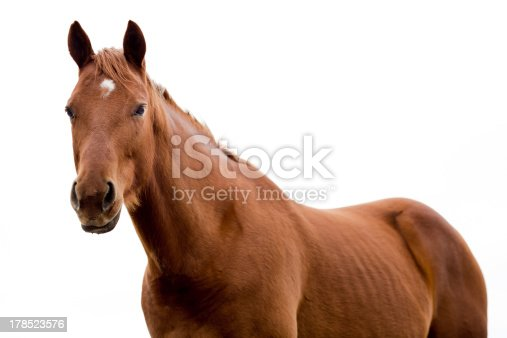 A Brown Quarter Horse Isolated on White. Waist Up photo.