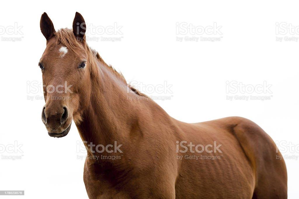 Brown Quarter Horse on White. stock photo