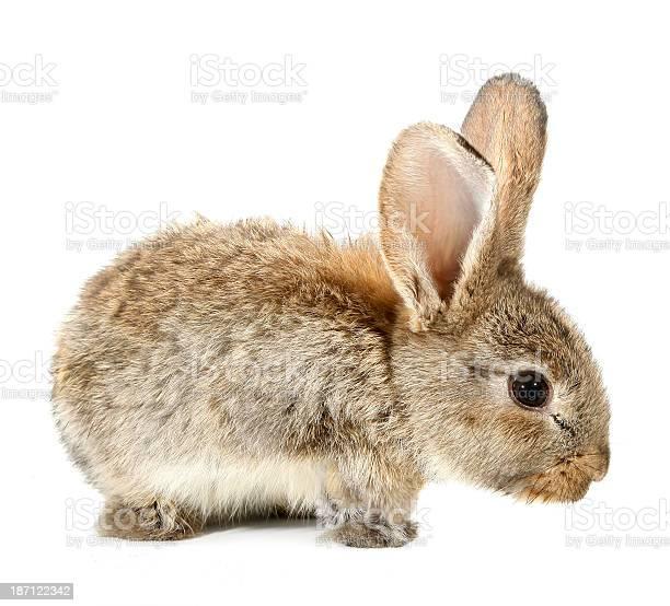 Brown rabbit bunny isolated on white background picture id187122342?b=1&k=6&m=187122342&s=612x612&h=migdd 2fqp9t3bk2 foj 9xnxv1hng qeqktjhn36la=