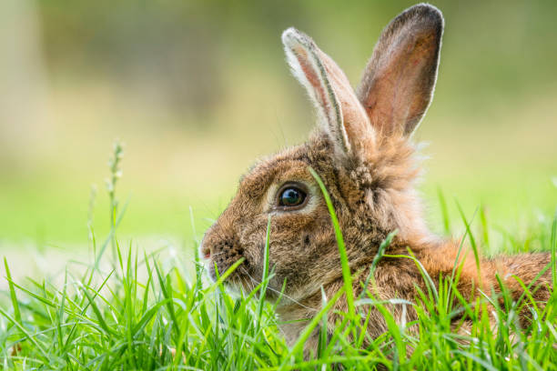 Brown rabbit hiding in green grass in the spring stock photo