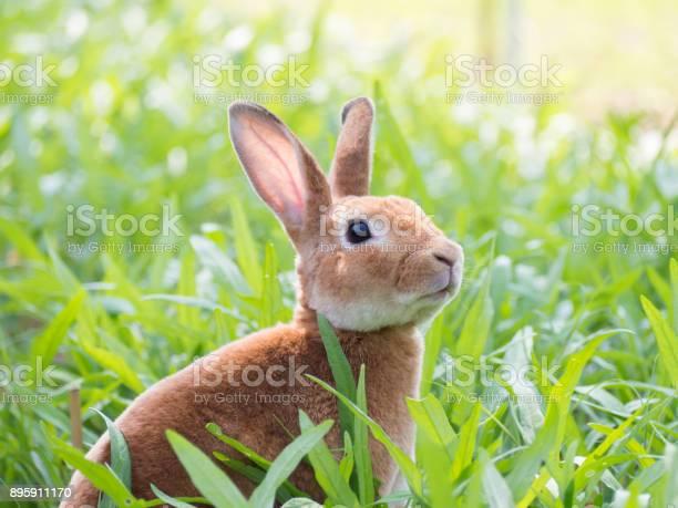 Brown rabbit in green meadow picture id895911170?b=1&k=6&m=895911170&s=612x612&h=xzbcymulnii8j7h luyyill3gesr zaglbrvgpbpuvg=