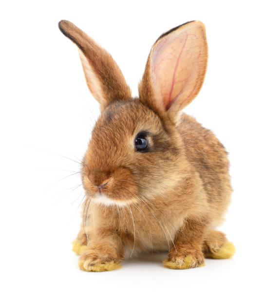 브라운 토끼 흰색. 스톡 사진