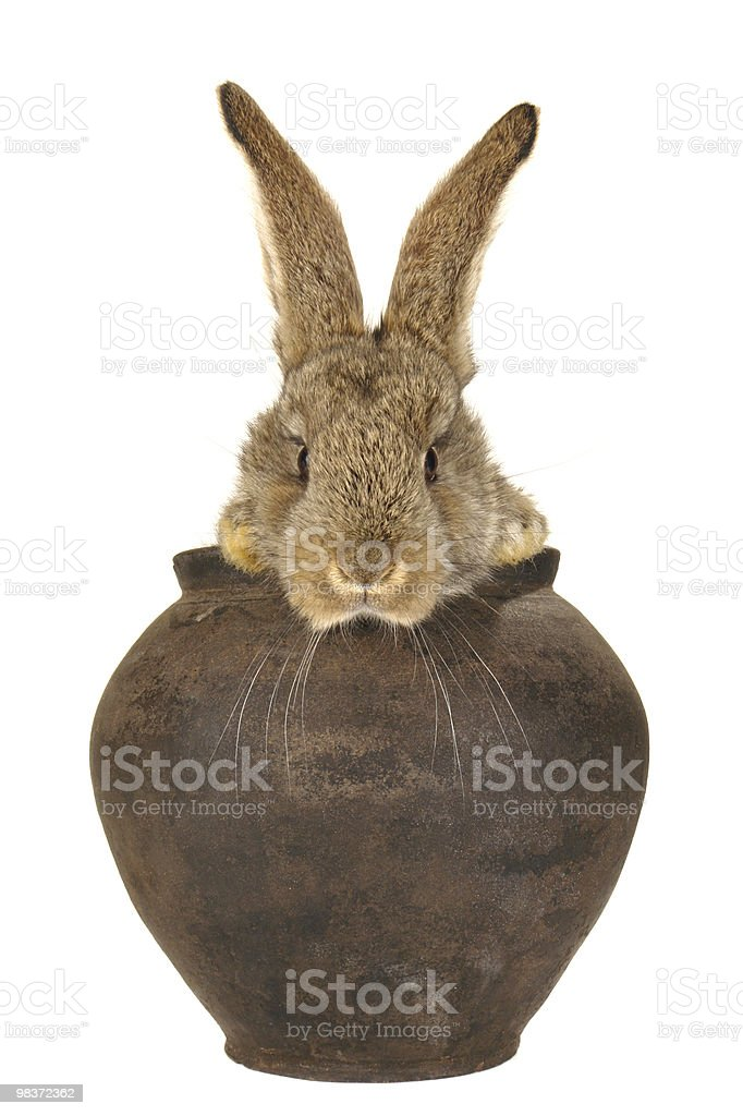 brown  rabbit royalty-free stock photo
